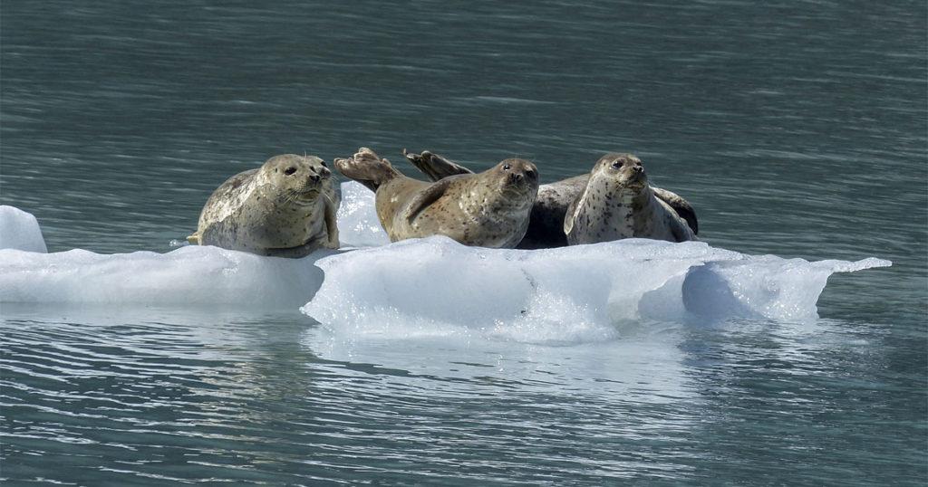 Seals In Alaska